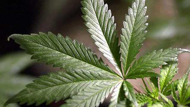 Marijuana, Leaf